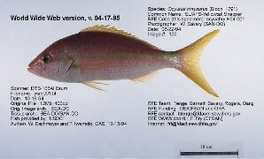 Yellowtail Snapper Definition By Babylons Free Dictionary